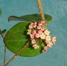 Hoya polystachya Cutting [IML 1043] - $10.00 : Buy Hoya Plants Online in Many Species from SRQ Hoyas Today!