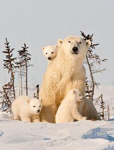Foto en familia de un oso polar #naturaleza