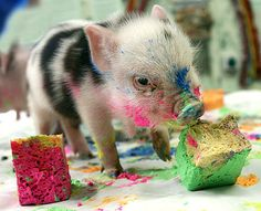 what will this piglet look like when it's fully grown? i hope he doesn't lose his color.