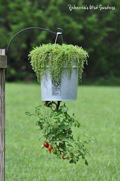 the garden-roof coop: DIY Upside Down Tomato