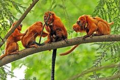 Golden lion tamarins are one of the few monkeys not to have prehensile tails. Find out more about these amazing animals here!