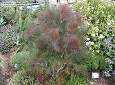 Good photo, yet bronze fennel actually looks much prettier in person. Diaphanous and graceful. Great butterfly food--especially for black swallowtails.    Google Image Result for http://plantfreak.files.wordpress.com/2012/01/a76823.jpg