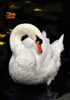 """The Elegant Swan."""