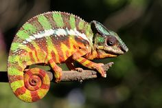 #Panther Chameleon #Madagascar,.  image copyright- fotolia Discover the red island with: dodotravel-madagascar.com
