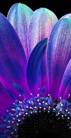 ~~Gerbera macro by Haarnaald~~ - Beautiful Flowers Exotic Flowers, My Flower, Flower Art, Beautiful Flowers, Real Flowers, Purple Love, All Things Purple, Flower Wallpaper, Nature Wallpaper