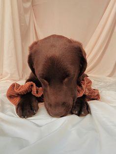 Scrunchies, Labrador Retriever, Dogs, Animals, Labrador Retrievers, Animales, Animaux, Pet Dogs, Doggies