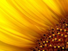 Tournesol (sunflower) by Jan Meeus (flickr)