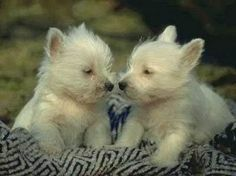 What's better than ONE Westie?  Why TWO Westies of course !!