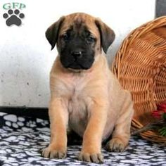 My dream puppy! Boxer Mastiff mix! Baby dogs, Boxer