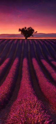 Lavender field in Valensole, Provence, France