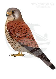 CERNÍCALO VULGAR. 27-33 cm de longitud. El cernícalo vulgar es un ave bastante espectacular, con una tonalidad pardo-herrumbroso en el dorso, fuertemente contrastado por la zona ventral de color crema.