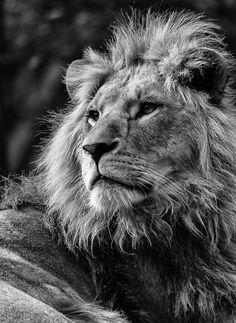 Black Premium by Emp Bodies Kapuzenpullover Black Premium by Empblack Premium. Wild Animal Wallpaper, Lion Wallpaper, Cat Pattern Wallpaper, Lion Images, Lion Pictures, Lion King Art, Lion Art, Lion And Lioness, Lion Of Judah