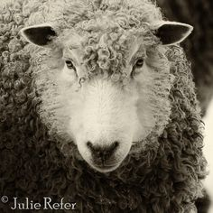 sheep photo, rustic decor, french country, farm animal photography