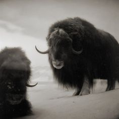 musk oxen by TommyOshima on Flickr.    -25