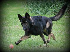 Morgan almost 3 Czech German Shepherd, Sable German Shepherd, German Shepherds, Kurt, Schaefer, Hades, Doge, Dog Love, Friends