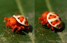 Meet the orange tortoise spider (Encyosaccus sexmaculatus)!  This is a tiny, bright orange jumping spider found in South America. So far, little is known about this brightly coloured arachnid as the creature is very little studied.   Image: aollgaard/Archnoboards