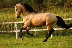 "Wishlist horse #2 ""Tennessee Jed"" ...Light Bay Lusitan"