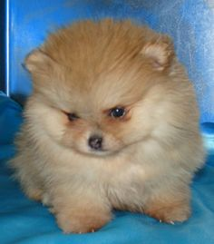 My sweet little Sam looked just like this little fluff ball as a baby. Gotta love pommies!