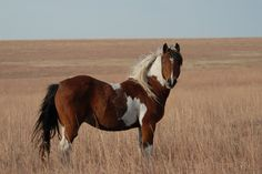 Wild Horses Running | Paint Mustang in Longterm Holding in OK- photo by Betsy Brown