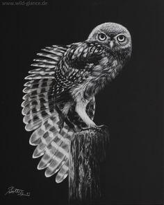 Little Owl - Little Owl, Steinkauz, Athene noctua  Scratchboard