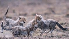 Weldhagen, Fanus - Cheetah Cubs Playing, Ib (Couldn't find any without the odd coloring)