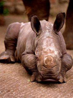 Otze the Rhinocerous Born at Edinburgh Zoo, June 1998 Photographie sur AllPosters.fr