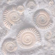 40% T transparency nautilus fossils
