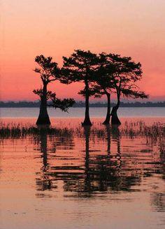 cypress trees florida Cypress Swamp, Cypress Trees, Louisiana Swamp, Louisiana Art, Landscape Tattoo, Bird Silhouette, Vintage Florida, Tree Forest, Beautiful Sunset