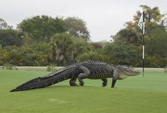 Alligator wondering why its habitat has been turned into a golf course: