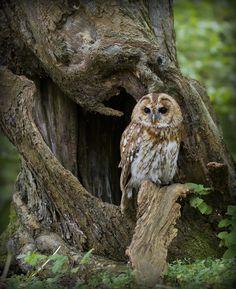 Tawny Owl in the Woods, Strix aluco, Puštík obecný Beautiful Owl, Animals Beautiful, Cute Animals, Wild Animals, Owl Photos, Owl Pictures, Owl Bird, Pet Birds, Strix Aluco
