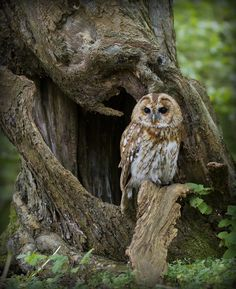 Tawny Owl in the Woods