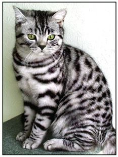 British Shorthair 'Breeders of Silver Tabby, We have