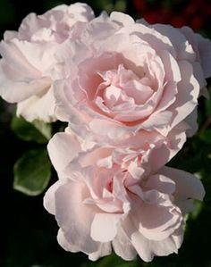Rosa x floribunda Constance Mozart®