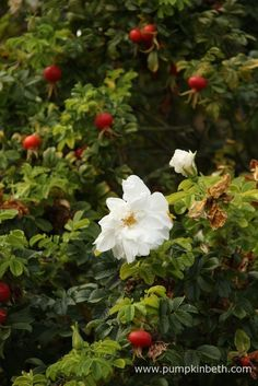 Rosa rugosa roses are tough plants that grow well even on poor soils.