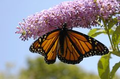 Monarch nectaring on pink butterfly flower in Garden designed by Brent Knoll of Knoll Landscape Design
