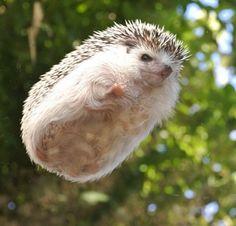 """Meet Marutaro, Adorable Pygmy Hedgehog """"I can FLY! Funny Hedgehog, Pygmy Hedgehog, Baby Hedgehog, Super Cute Animals, Cute Little Animals, Cute Funny Animals, Baby Animals Pictures, Animals And Pets, Animal Pics"""