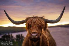 Schottisches Hochlandrind in der Abendsonne