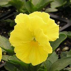Pansy Delta Premium Pure Lemon