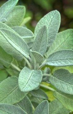 #wattpad #spiritual Traditional and Spiritual healer, Phone him on +27789866084 All his services are beyond human imagination, and many have always asked for what is behind his services because of their effect to their problems he can cast spells no matter how far the client maybe and his spells are guaranteed to work... Sage Plant, Plant Leaves, Pregnancy Spells, Sage Bush, Fertility Spells, Types Of Magic, Women Problems, Bring Back Lost Lover, Black Magic Spells