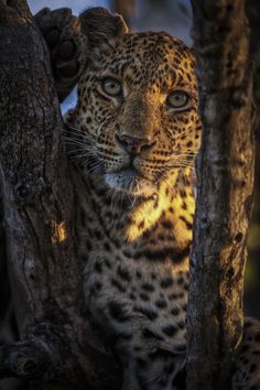 Leopard by Chris Fischer