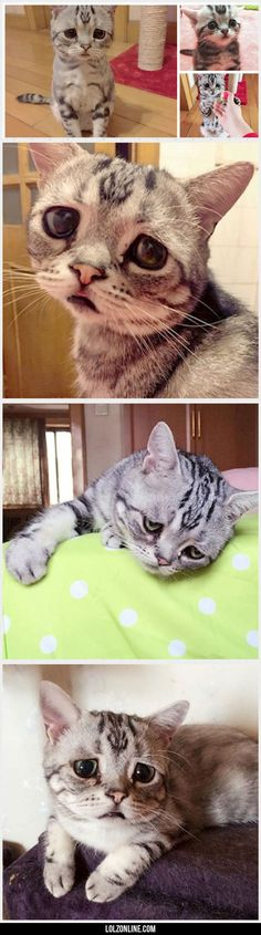 Luhu, The Saddest Cat In The World#funny #lol #lolzonline
