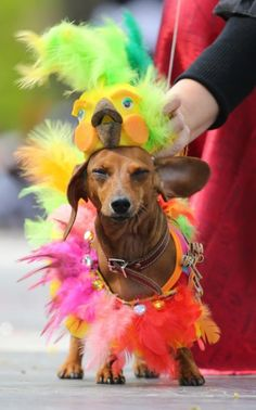 A dachshund dog seen during the 6th Dachshund parade marking St Petersburg City Day in Russia