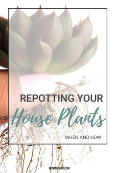 When was the last time you repotted your plant? Never? Ok. Its probably time. How to know if it is time to repot your plant, and how to do it the right way. #modandmint #houseplant #plants #indoorplants
