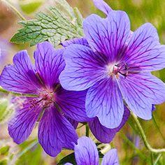 Évelő virágok - Botanikaland.hu Plants, Plant, Planets