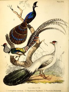 1. Blue eared pheasant. 2. Palawan peacock-pheasant. 3. Lady Amherst's pheasant.  A popular history of birds. 1855.