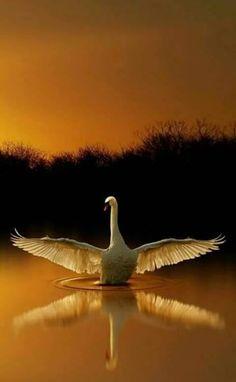 Image IMG 4419 in Beautiful birds album Beautiful Swan, Beautiful Birds, Animals Beautiful, Beautiful Pictures, Animal Photography, Nature Photography, Swans, Tier Fotos, Pretty Birds