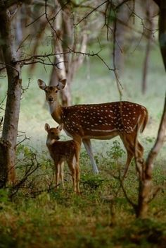 re biche et faon doe and fawn Forest Animals, Nature Animals, Animals And Pets, Baby Animals, Cute Animals, Animals Planet, Beautiful Creatures, Animals Beautiful, Tier Fotos