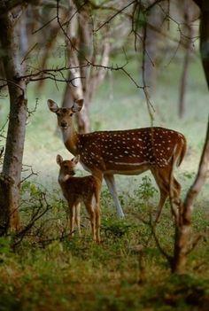 Female Deer (Doe) with calf