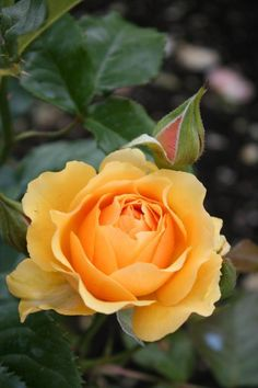 Perfect Rose -- by Christiane Schulze