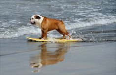 bulldog boarding  .... just makes me want a little bully even more!